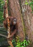 Bornean-Orang-Utan auf dem Baum unter Regen in der wilden Natur Stockfoto