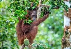 Bornean-Orang-Utan auf dem Baum unter Regen in der wilden Natur Stockbilder