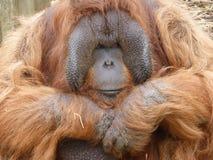 Bornean-Orang-Utan, der heraus der Welt betrachtet lizenzfreie stockfotos