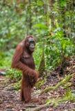 Bornean-Orang-Utan in einem natürlichen Lebensraum Stockbild