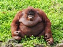 Bornean Orang Utan. He is enjoying meals in a zoo. The Bornean orangutan, Pongo pygmaeus, is a species of orangutan native to the island of Borneo. Together with Stock Photography