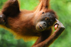 Bornean Orang Utan. Orang Utan giving a welcome salute Stock Photography