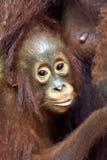 Bornean Orang-Utan Mutterorang-utan und -junges Lizenzfreie Stockfotos