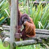 Bornean-Orang-Utan Pongo pygmaeus Stockfoto
