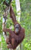 Bornean-Orang-Utan Pongo pygmaeus auf dem Baum unter Regen in der wilden Natur Zentrales Bornean-Orang-Utan Pongo pygmaeus wurmbi Lizenzfreie Stockfotos