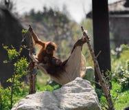 Bornean-Orang-Utan Pongo pygmaeus bei Chester Zoo, Cheshire Lizenzfreies Stockbild