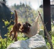 Bornean-Orang-Utan Pongo pygmaeus bei Chester Zoo, Cheshire Stockfotografie