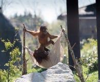 Bornean-Orang-Utan Pongo pygmaeus bei Chester Zoo, Cheshire Lizenzfreie Stockbilder