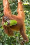 Bornean-Orang-Utan ( Pongo pygmaeus) , Semenggoh-Schongebiet, Borneo Stockfoto