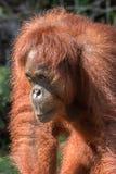 Bornean-Orang-Utan ( Pongo pygmaeus) , Semenggoh-Schongebiet, Borneo Lizenzfreies Stockfoto