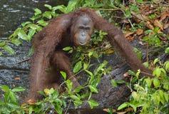 Bornean-Orang-Utan Pongo pygmaeus unter Regen in der wilden Natur Zentrales Bornean-Orang-Utan Pongo pygmaeus wurmbii auf dem Bau Stockfotos
