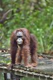 Bornean-Orang-Utan Pongo pygmaeus unter Regen in der wilden Natur Zentrales Bornean-Orang-Utan Pongo pygmaeus wurmbii in natürlic Lizenzfreie Stockfotos
