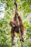 Bornean-Orang-Utan (Pongo pygmaeus wurmmbii) auf dem Baum im Regenwald von Insel Borneo Stockfoto