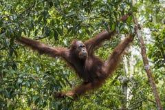 Bornean-Orang-Utan Pongo pygmaeus wurmmbii auf dem Baum im Regenwald von Insel Borneo indonesien Lizenzfreie Stockfotografie