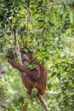 Bornean-Orang-Utan (Pongo pygmaeus wurmmbii) auf dem Baum im Regenwald von Insel Borneo indonesien Lizenzfreie Stockbilder
