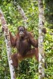 Bornean-Orang-Utan (Pongo pygmaeus wurmmbii) auf den Baumasten im Regenwald von Insel Borneo Lizenzfreie Stockfotos