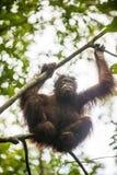 Bornean-Orang-Utan (Pongo pygmaeus wurmmbii) auf den Baumasten im Regenwald von Insel Borneo Lizenzfreie Stockfotografie