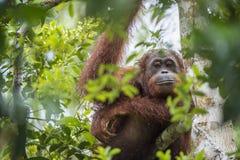 Bornean-Orang-Utan (Pongo pygmaeus wurmmbii) auf den Baumasten im Regenwald von Insel Borneo Stockfotografie
