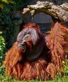 Bornean Orang utan Royalty Free Stock Photography