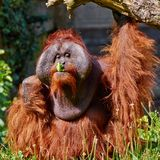 Bornean Orang utan Royalty Free Stock Photo