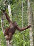 Bornean-Orang-Utan unter Regen auf dem Baum Lizenzfreie Stockfotografie
