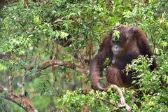 Bornean-Orang-Utan unter Regen auf dem Baum in der wilden Natur C Lizenzfreie Stockfotos
