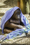 Bornean Orangutam变冷 免版税库存图片