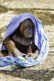 Bornean Orangutam变冷 库存照片