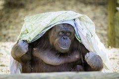 Bornean Orangutam получая модный Стоковые Фотографии RF