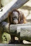Bornean Orangutam婴儿在一个极重的方式下 库存照片