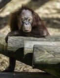 Bornean Orangutam   infant in a ponderous mode Stock Photo