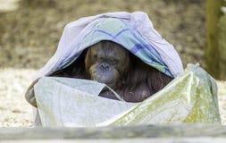 Bornean Orangutam obtenant à la mode Photographie stock libre de droits