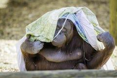 Bornean Orangutam obtenant à la mode Photos libres de droits