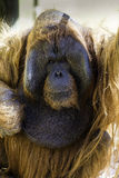 Bornean Orangutam zakończenie up twarz Zdjęcia Stock