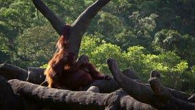Bornean orangutan μητέρων και μωρών στο δασικό ενήλικο orangutang παίρνει cub προσοχής απόθεμα βίντεο