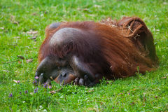 Bornean Orangutan Royalty Free Stock Photo