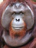 bornean orangutan Royaltyfri Foto