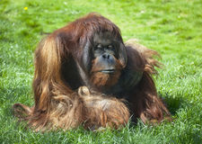 Bornean Orangutan Stock Photo