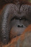 Bornean orangutan Royaltyfri Bild