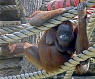 bornean orangutan 3 Arkivfoton