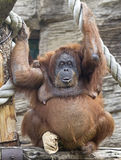 bornean orangutan 4 Royaltyfri Foto