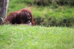 bornean orangutan Fotografering för Bildbyråer