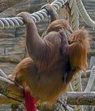 bornean orangutan 5 Arkivbild