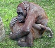 bornean orangutan Royaltyfria Bilder
