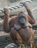Bornean orangutan 6 Royalty Free Stock Photo