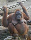 bornean orangutan 6 Royaltyfri Foto