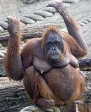 Bornean orangutan 7 Royalty Free Stock Photos