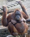 Bornean orangutan 7 Royaltyfria Foton