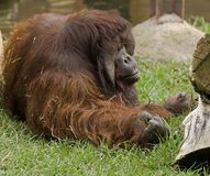 Bornean orangutan 8 Royalty Free Stock Photography
