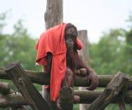 bornean orangutan Arkivbild
